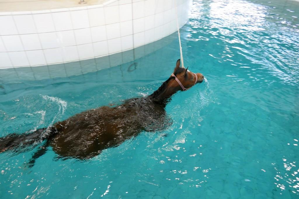 piscine pur sang al shaqab qatar foundation