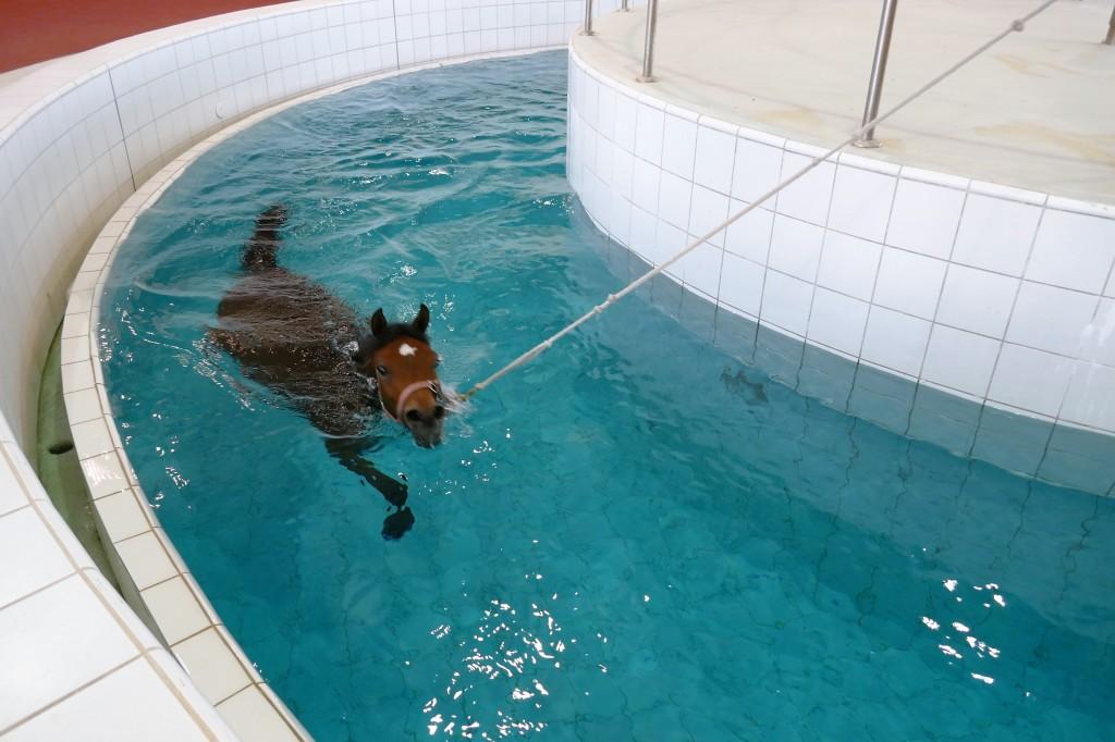 piscine pur sang al shaqab qatar foundation (2)
