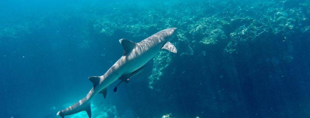 Nager au milieu des requins dans l'Archipel des Yasawa ? A la rencontre du paradis Fidjien.